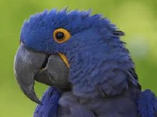 Попугай Пэпи