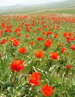 тюльпаны Каратау