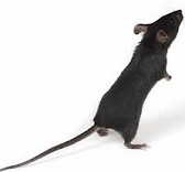 Traum einer Maus
